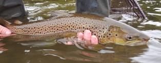 A lower Eden trout