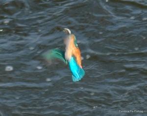 kingfisher33597