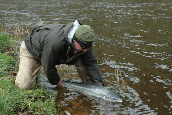 An Eden spring salmon returned